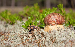 Cep in nature Royalty Free Stock Photo