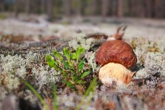 Cep in nature Stock Image
