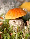 Cep in nature Royalty Free Stock Photos
