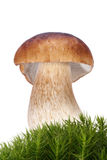 Cep (Penny Bun) Royalty Free Stock Photography