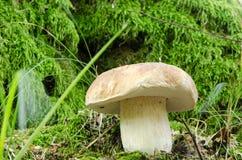 Cep penny bun porcino boletus edulis mushroom Stock Photography