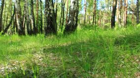 Cepa-de-bordéus bonito e pequeno na grama filme