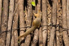 Cepapi di Paraxerus dello scoiattolo di albero immagini stock libere da diritti
