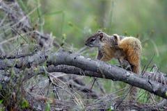 cepapi paraxerus wiewiórki drzewo Zdjęcia Royalty Free