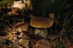 Cepe蘑菇 免版税库存照片
