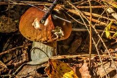 Cepe θερινό ξύλο Στοκ Φωτογραφίες