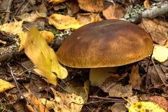 Cepe изолированная пущей белизна гриба Стоковое Изображение RF