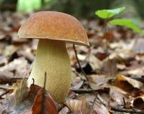 Cepe mushroom Stock Images