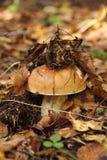 Cepe. Mushroom. Stock Photos