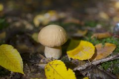 Boletus in the autumn wood Royalty Free Stock Photos