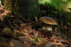 Cepe mushroom Stock Image