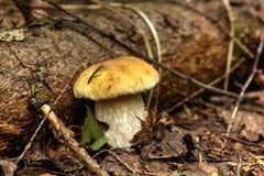 Cepe. Summer wood. Royalty Free Stock Photo