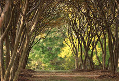 CepeMyrtle3. Crepe myrtle grove in fall Royalty Free Stock Photography