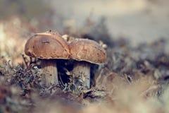 Cepes crece en un liquen de reno Foto de archivo libre de regalías
