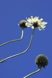 Cephalaria Blumen gegen Himmel Lizenzfreie Stockfotografie