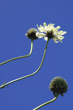 Cephalaria Flowers Against Sky Royalty Free Stock Photography