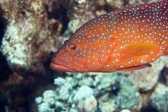 cephalopholis珊瑚后面miniata 免版税库存图片