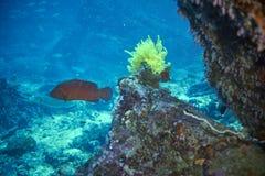 cephalopholis珊瑚石斑鱼拉丁miniata名字 库存图片