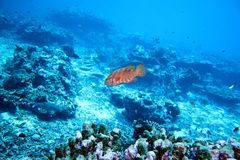 cephalopholis珊瑚石斑鱼拉丁miniata名字 免版税库存图片