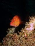cephalopholis珊瑚石斑鱼拉丁miniata名字 免版税图库摄影
