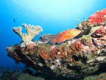 cephalopholis珊瑚石斑鱼拉丁miniata名字 库存照片