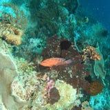 cephalopholis珊瑚石斑鱼拉丁miniata名字 免版税库存照片