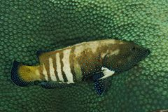 Cephalopholis argus - mar de Andaman Foto de Stock Royalty Free