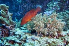 cephalopholis koralowego grouper łaciński miniata imię Obraz Stock