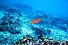 cephalopholis koralowego grouper łaciński miniata imię Obraz Royalty Free