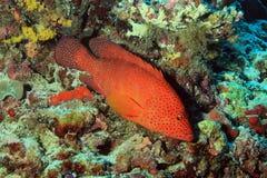 cephalopholis koralowego grouper łaciński miniata imię Obrazy Royalty Free