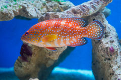 Cephalopholis miniata - Coral hind Royalty Free Stock Photography