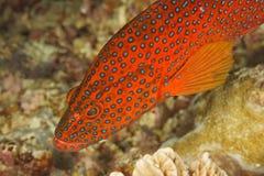 Cephalopholis miniata - Grouper royalty free stock image
