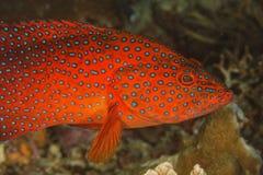 Cephalopholis miniata - Grouper stock photos