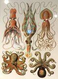 cephalopods 2 Stock Images