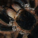 Cephalothorax Image stock