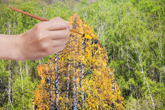 Cepille el abedul amarillo del otoño de las pinturas en arboleda verde Fotos de archivo