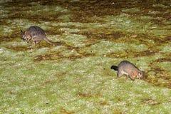Cepille el mapache y el ualabi atados del oposum en la isla del canguro Imagenes de archivo