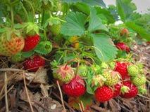 Cepille la fresa madura roja Fotografía de archivo