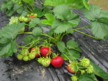 Cepille la fresa madura roja en un fondo de hojas verdes Foto de archivo libre de regalías