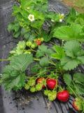 Cepille la fresa madura roja en un fondo de hojas verdes Fotos de archivo libres de regalías