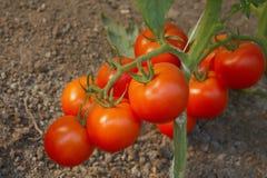 Cepillo del tomate Fotografía de archivo libre de regalías