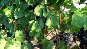 Cepillos de las uvas rojas maduras e inmaduras que cuelgan en una vid en la igualación del sol almacen de metraje de vídeo