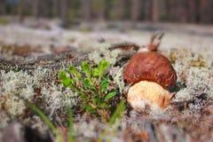cepnatur Fotografering för Bildbyråer
