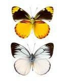 Cepora laeta butterfly Royalty Free Stock Photos