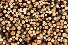 Ceppi del pino, della betulla e della quercia immagini stock