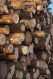Ceppi del pino, della betulla e della quercia fotografia stock libera da diritti