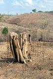 Ceppi di albero dopo disboscamento ed ustione per agricoltura Fotografia Stock