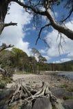 Ceppi di albero killarney 2 fotografie stock