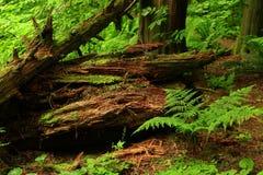 Ceppi di nord-ovest pacifici dell'albero della conifera e della foresta Fotografie Stock