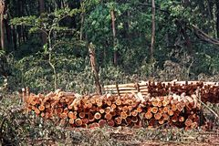 Ceppi impilati di Forest Trees tagliato Immagine Stock